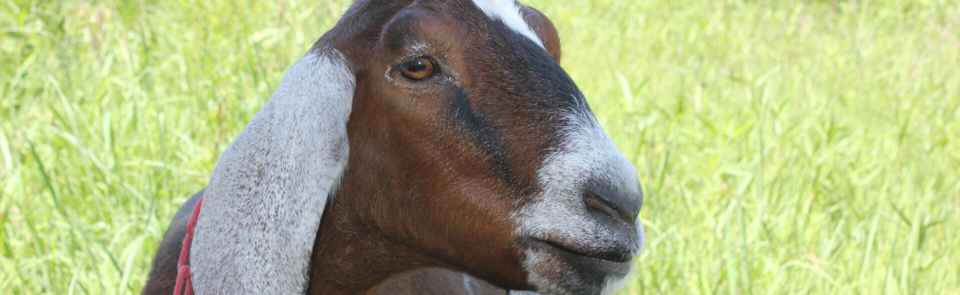A chestnut brown goat with cream ears looking off into the pasture