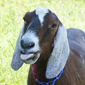 Goat sticking tongue out