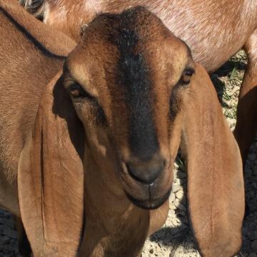 close up of goat